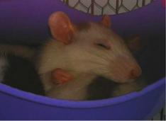 ein schlafendes Rattenbaby